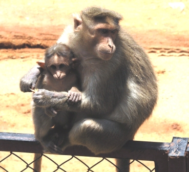 Macaque_Family1