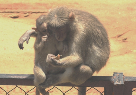 Macaque_Family2_compressed