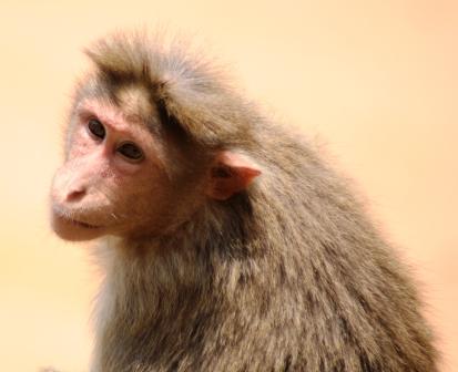 Rhesus_Macaque_Female4