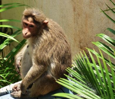 Rhesus_Macaque_Female_1jpg