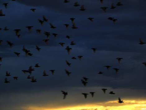 Flock Of Starlings