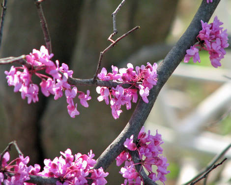 Red Buds Are Blooming in OK