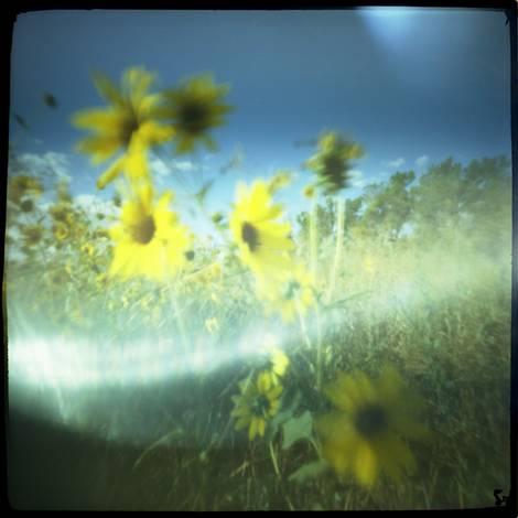 Sun Flowers...