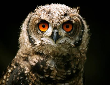 NORTHERN.EAGLE.OWL
