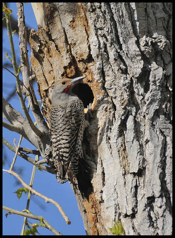 BAckyard Flicker