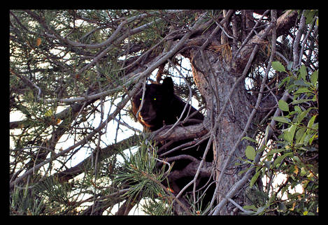 Bear on Fence