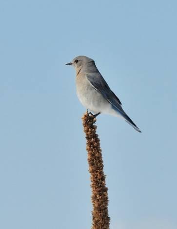 BlueBird ?