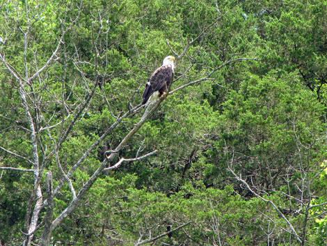 Branson Eagle