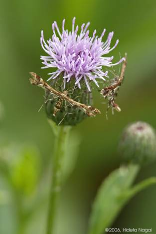 Small Bugs, Big Thistle