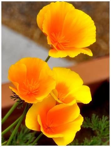 Sweet Spot_Golden Poppy