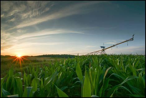Sprinkler in a Cornfield