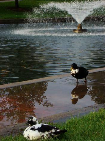 Ducks by pond