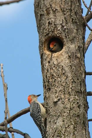 Nesting Red Bellies