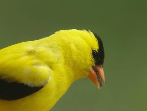 Goldfinch portrait..