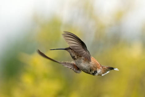 One more humming bird pic