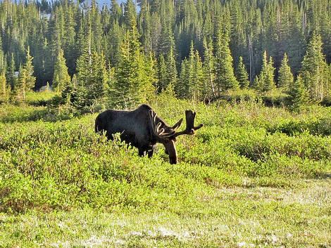 Moose Roosevelt NF