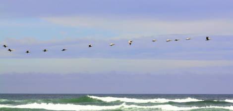 Fourteen Pelicans