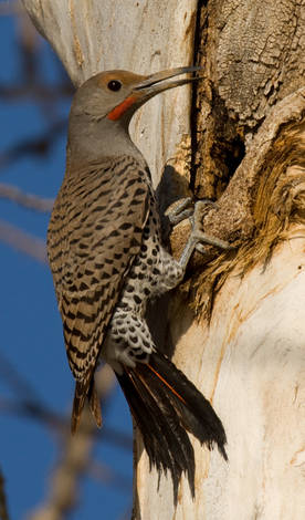 Another Northern Flicker