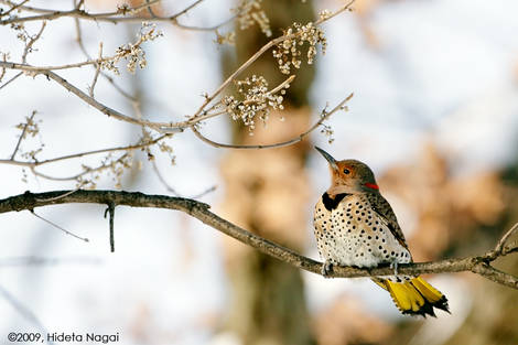 Northern Flicker out in the open