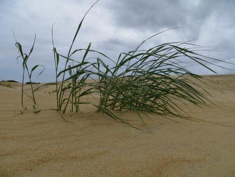 Salt Grass and Sand Dune
