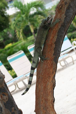 The Lizards of St. Thomas