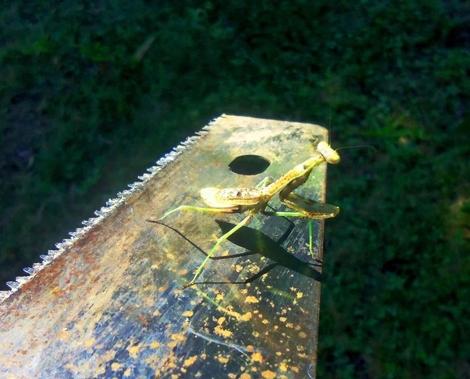 praying mantis on saw blade