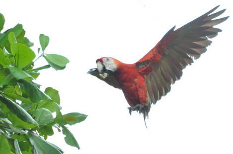 Landing Macaw