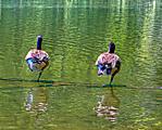 2-Geese-2-Legs-Up.jpg