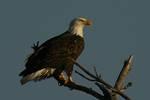 2371182018_eagle.jpg