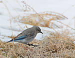 Bluebird_Female_002.jpg