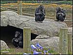 Chimps-2.jpg