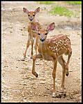 Deer_Encounter_6_copy.jpg