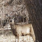 Deer_in_the_Brush3.jpg