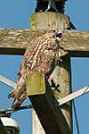 Falcon-calling-_0306-review.jpg