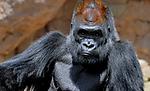 Gorilla4b.jpg