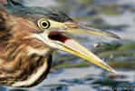 Green_Heron_take_2_1-5.jpg