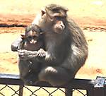 Macaque_Family1.jpg