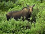 Moose_-State-Forest-Park.jpg
