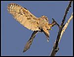 Owl_LandingsmFramed.jpg