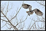 Owlin_flight002.jpg