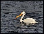 Pelican003.jpg