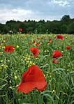 Poppy_field_in_Wombourne.jpg