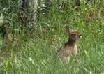 Rabbit_Medium_.jpg