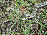 Rat_snake_nose.JPG