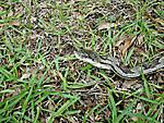 Rat_snake_side.JPG