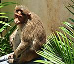 Rhesus_Macaque_Female_1jpg.jpg