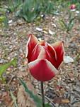 ST700_03_Tulip_en.JPG