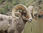 SheepHead001.JPG