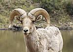 SheepHead002.JPG
