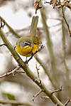Yellow-breasted-chat-1-120610-Westham-Island_0901.jpg